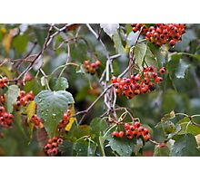Broad Leaf Mountain Ash - Orange Berries Photographic Print