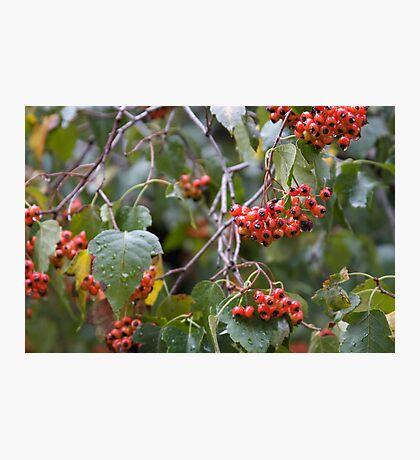 Broad Leaf Mountain Ash - Orange Berries Photographic Print