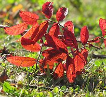 Fallen Wild Rose Leaves by Kathi Arnell