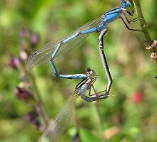 Damselfly ~ Familiar Bluet pair copulating by Kimberly Chadwick