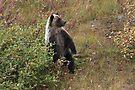 Bear cub III by zumi