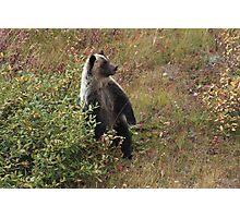 Bear cub III Photographic Print