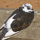 JACOBIN PIGEON by normanorly