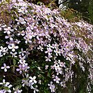 Clematis wall by StuartR