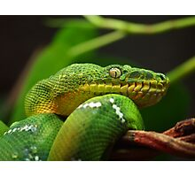 Green Tree Snake Photographic Print