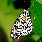 Tree Nymph Butterfly by Photo Scotland