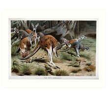Friedrich Wilhelm Kuhnert A group of Red kangaroos on the move Colour reproduction of Wellcome Art Print