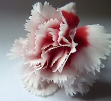 The Flower of the Carnation (Dianthus) by Anita  Fletcher