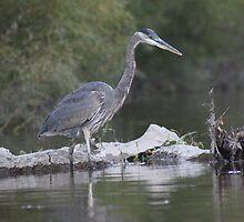 Blue Heron on the Milwaukee River by Thomas Murphy