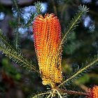 Banksia Spinulosa by claireh
