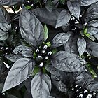 Black Pearl by JLPPhotos
