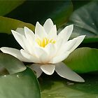 lotus-pure by LisaBeth