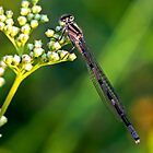 Brown damselfly (Argia-fumipennis). by MickBourke