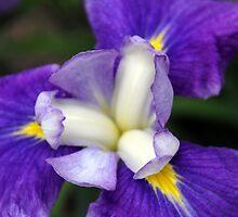 Iris Petals by Deborah Crew-Johnson