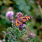 Butterfly on the Thistle  by Susan Dailey