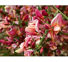 Red Broom in Bloom Photographic Print