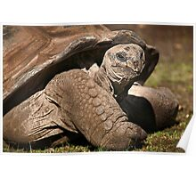 Wild Faces: Giant Tortoise Poster