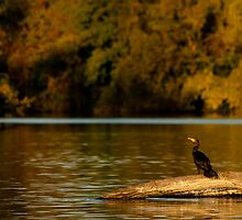Double-Crested Cormorant on the Fox River by ChadLarsonPhoto