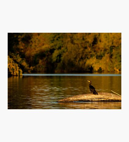 Double-Crested Cormorant on the Fox River Photographic Print