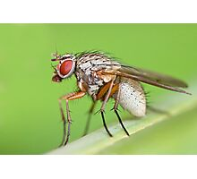 Fly Resting On Leaf Photographic Print