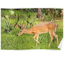 Young Buck (Odocoileus virginianus) Poster