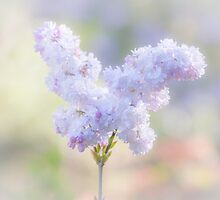 Pastel Lilac by Elaine Teague