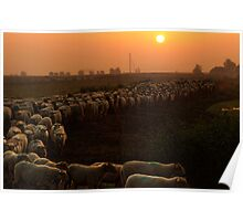 A herd of sheep Poster