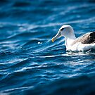 Shy Albatross by ARHKPhotography