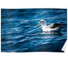 Shy Albatross Poster