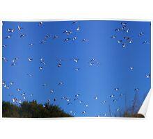 Flock of Gulls overhead Poster