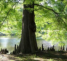 Trees Knees by Carolyn  Fletcher