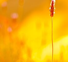 Sun-drenched lavender by Spitze