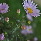 Tiny Asters 2011 by goddarb