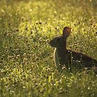 Cottontail in Dewy Clover by reindeer