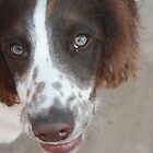 stan the springer spaniel by Jodie  Davison