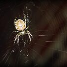 garden spider on a web by Jodie  Davison