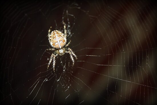 garden spider on a web by Jodie  Davison