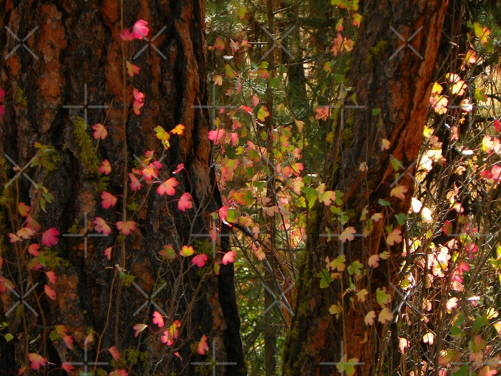 Autumn Lights the Pines by Betty  Town Duncan