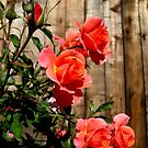 Roses in the Fence by Esperanza Gallego