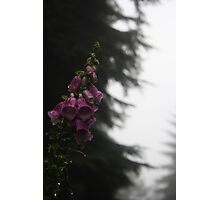 Dripping Foxglove Photographic Print