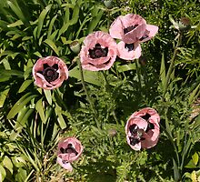 Pink poppies on La Mare wine estate, Jersey by Grace Johnson