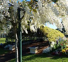 Wisteria tree and wisteria arch in late afternoon light. by Marilyn Baldey