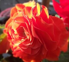 Begonia  by lorainek