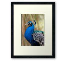 Beautiful Blue - peacock up close Framed Print