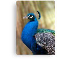 Beautiful Blue - peacock up close Canvas Print