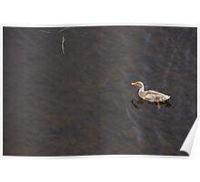 Richmond Duck in Grey Water Poster
