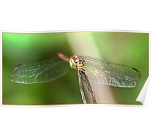 Dragonfly, Mission Beach, FNQ. Poster