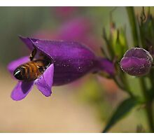 Diving For Nectar Photographic Print