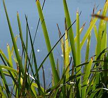 Reeds: Maribyrnong River by Sally Kate Yeoman