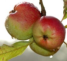 apples from my orchard by jean-jean